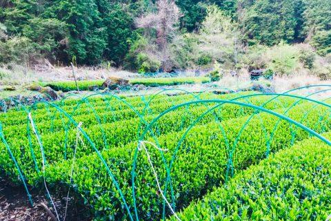 新茶の季節 「球磨禅心抹茶」